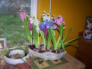 The bittersweet forced hyacinths,